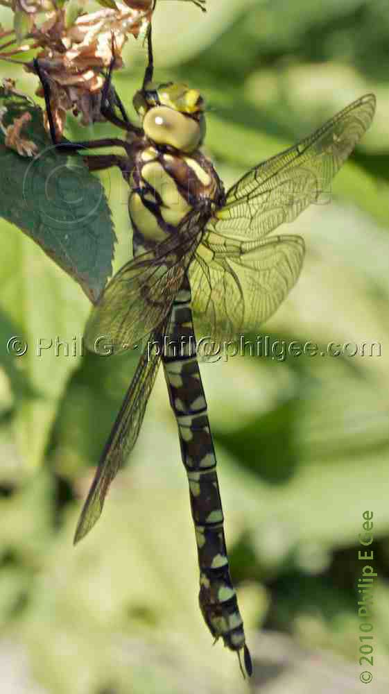 Southern Hawker Dragonfly © Phil Gee