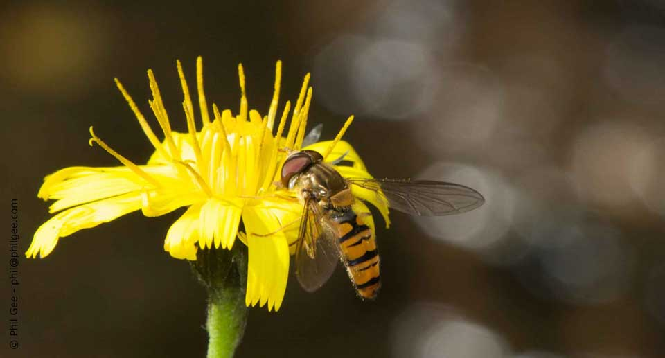 Hoverfly ©Philip Gee